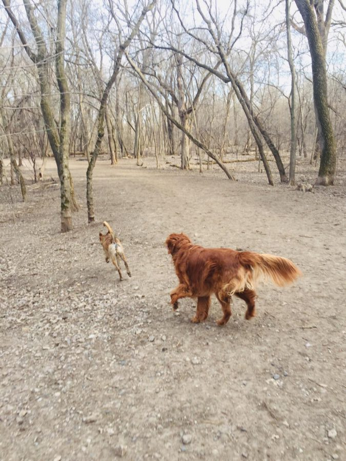 Rusty+chases+another+dog+at+the+Minnehaha+Off+leash+Recreation+Area+in+Minneapolis.+