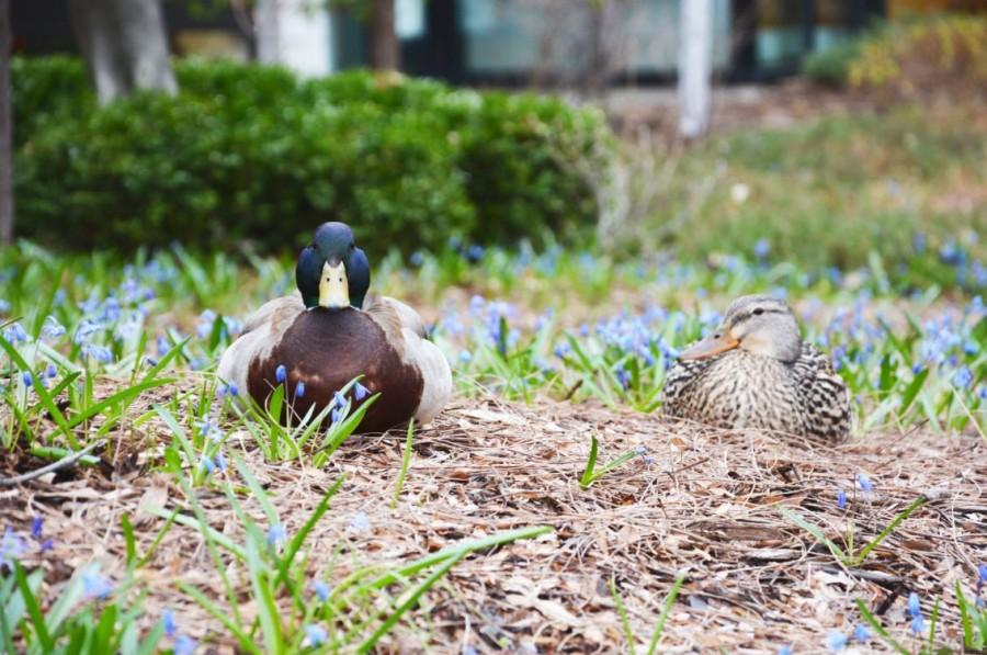 """A mallard drake and hen rest among the Blue Scilla blooms in the perennial beds of Lily Courtyard. The pair come back to St. Paul Academy each year to lay their eggs, and the Maintenance staff does their best to transplant the nest to a safe space.  """"The ducks are adorable and people shouldn't bother them,"""" sophomore Tabeer Naqvi said."""