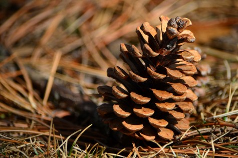 Pine cones have symbolized fertility, rejuvenation, and rebirth in ancient civilizations.