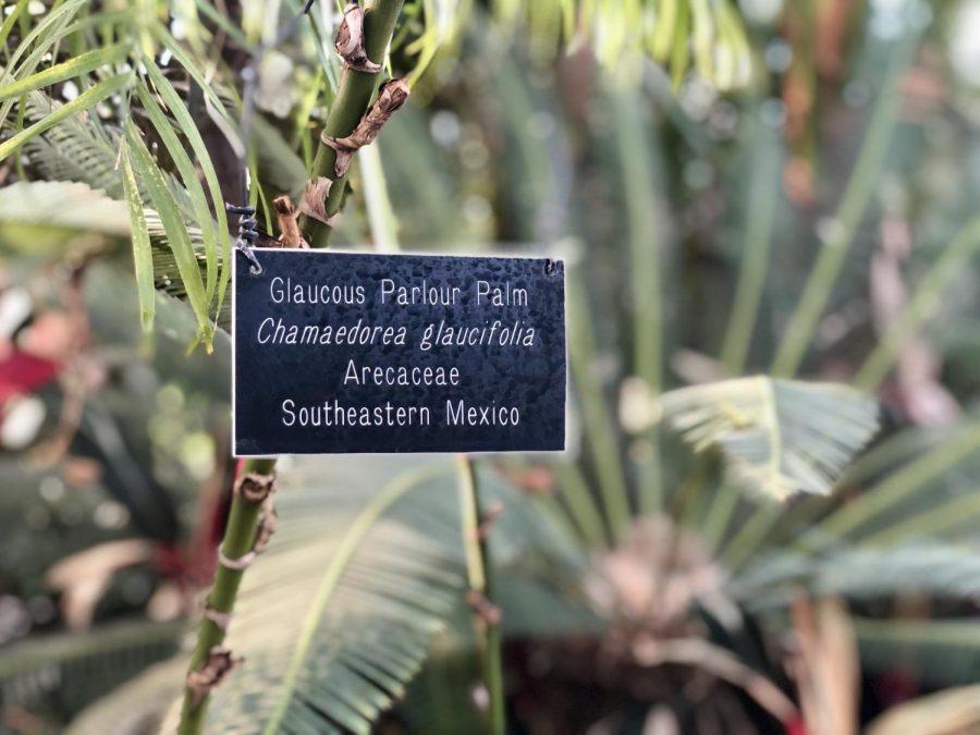 Glaucous Parlour Palm, a plant native to Southeastern Mexico.