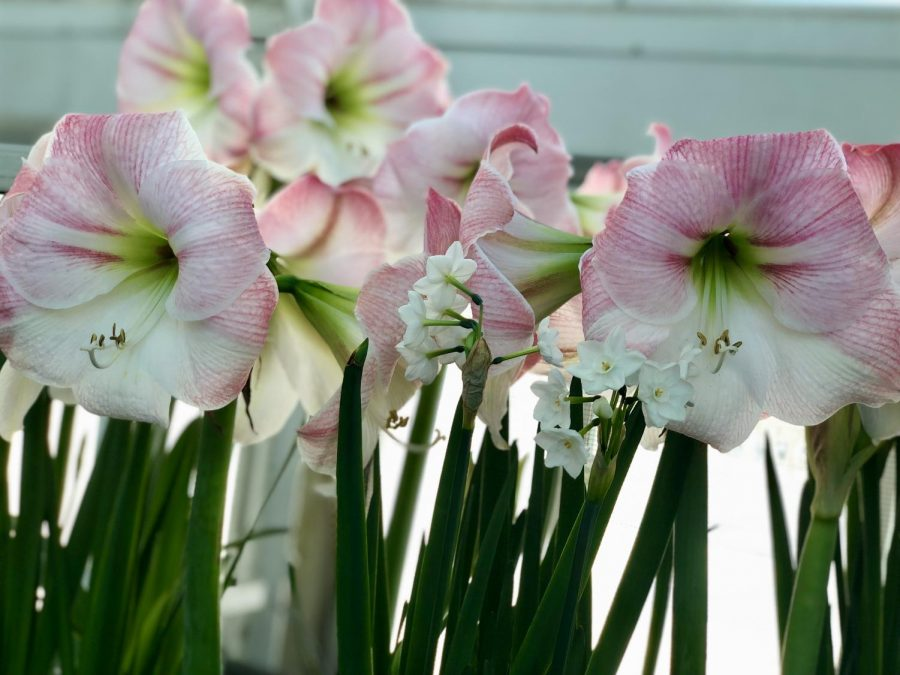 Large lillies line the Sunken Garden where the Winter Flower Show is on display through March.