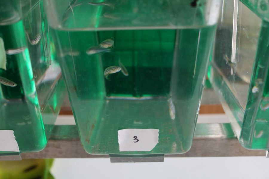 Zebrafish swim in a closeup view. ASR experiments can vary from biology, like Breton's, to social science and mechanics.