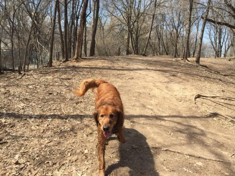 Rusty bounds around at the Arlington off leash Dog Area in Saint Paul.