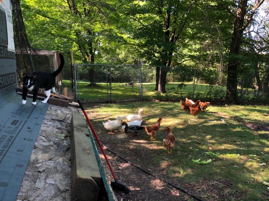 Devine has chickens, ducks, cats, and dogs in his backyard.