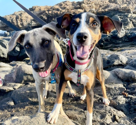 Rowa and Zani, two six-month old puppies from Sgt Pepper