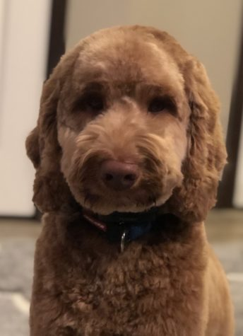 Finn is a unique breed of Australian Labradoodle: both hypoallergenic and trained to work with adolescents.